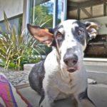 Lena Headey's dog mr Tanner